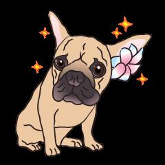 Baby Maru (Baby French Bulldog)